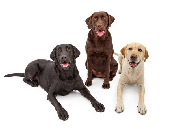 Different Color Labrador Retriever Dogs