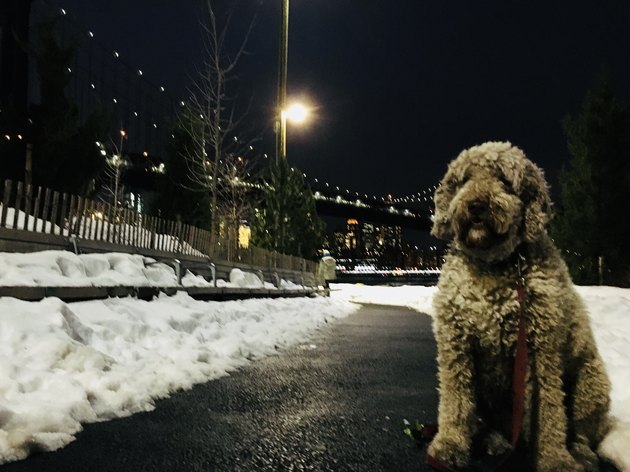 dog in New York in snow