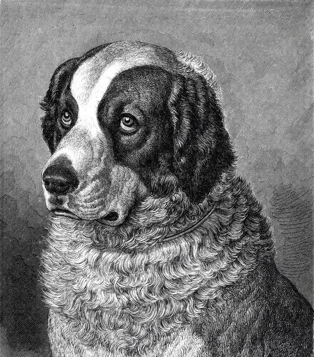 Leonberger dog old black and white portrait
