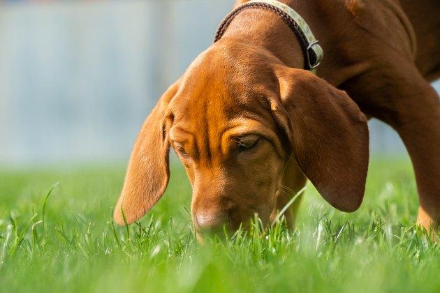 Vizsla Puppy Playtime - Sniffing grass