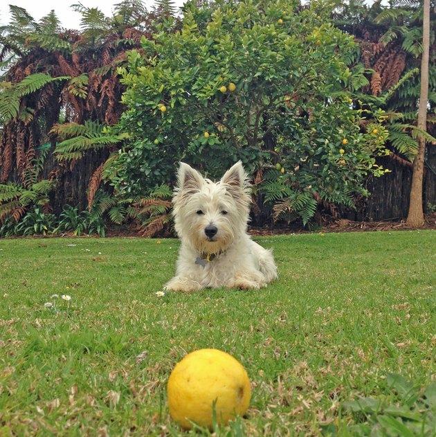 Scruffy dog  looking at lemon on grass