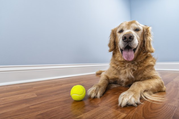 A senior dog lying down on the floor of his home with his ball