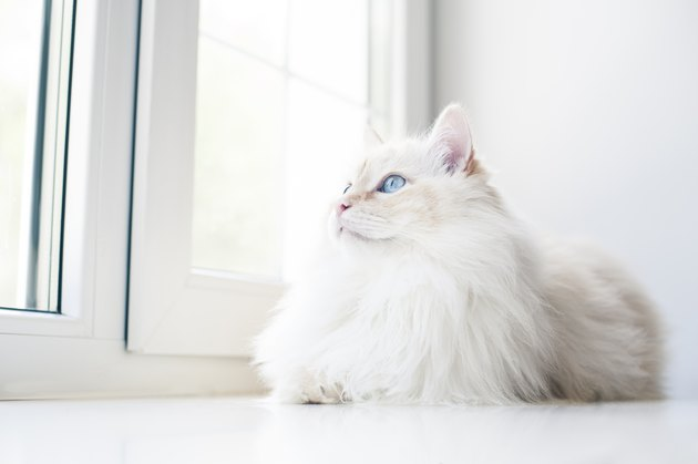 White cat lying down and looking through window