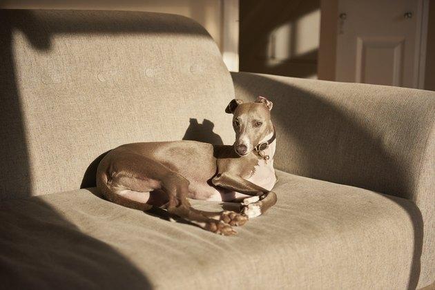 Grey whippet lying on sofa, portrait