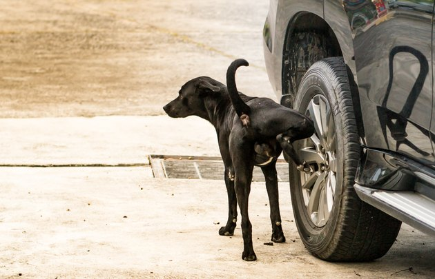 black dog peeing on car tire