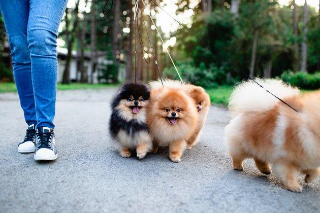 Pomeranian dogs walked on a leas