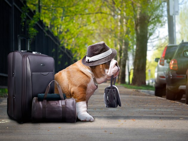 nice big dog with a suitcase.