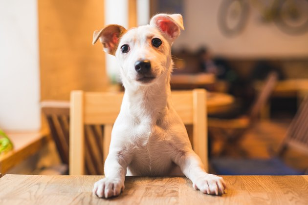 A jack Russell puppy sitting up at a table