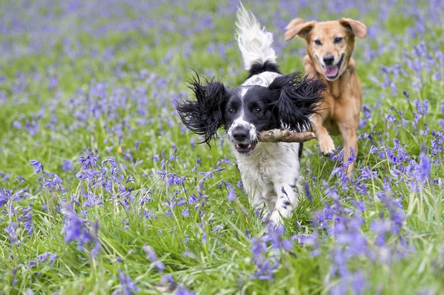 Two dogs frolicking, one with a stick in its mouth