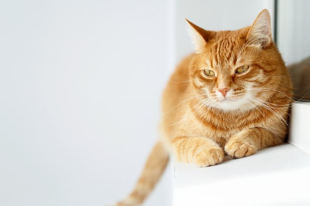 Cute young ginger cat lying, white background