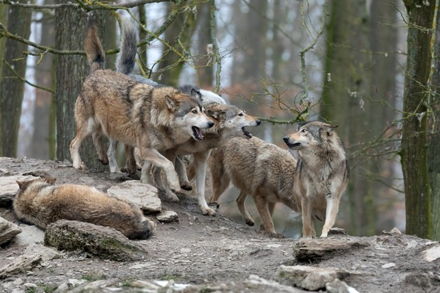 Wolfpack in a forest