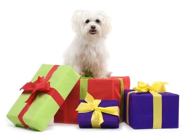 Maltese terrier with gift boxes.