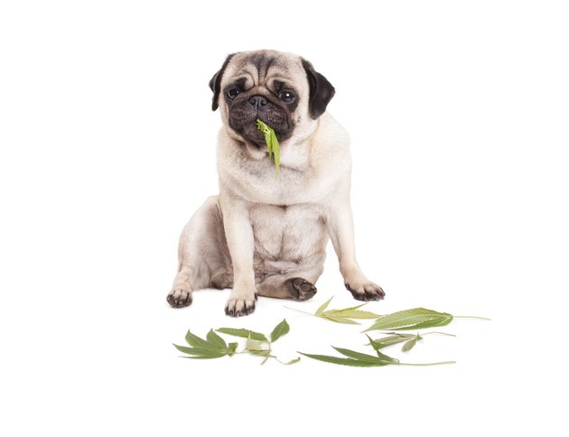 sweet pug puppy dog sitting and eating Cannabis sativa weed leaves, on white background