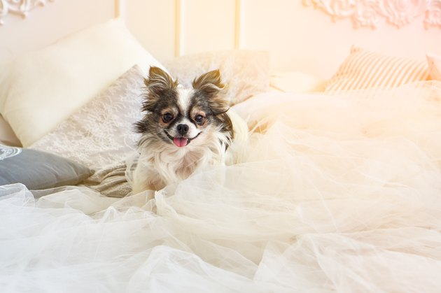 Cute happy smiling longhair chihuahua puppy dog in luxurious brightness classic style bedroom with king-size bed. Pets friendly  hotel or home room. Sunny day solar bright effect.
