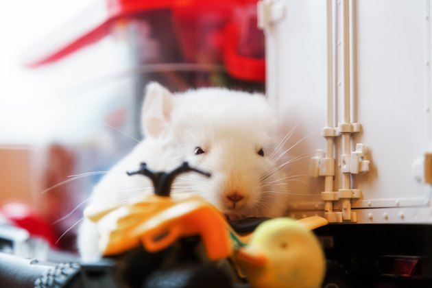 White baby chinchilla sitting among the toys