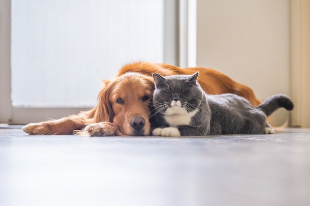 Golden retriever and British short hair cat lying on floor together