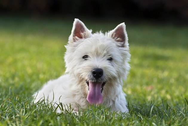 Cute West Highland white terrier puppy