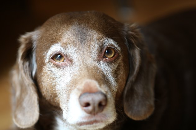 Old Dog with Brown and White Fur Looks at Camera