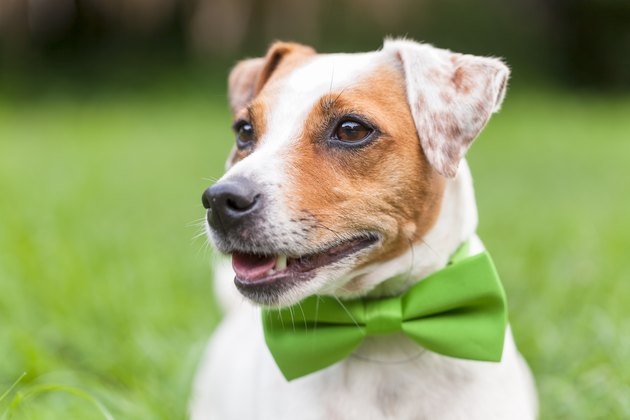 Portrait Of A Jack Russell Terrier Dog wearing a bowtie