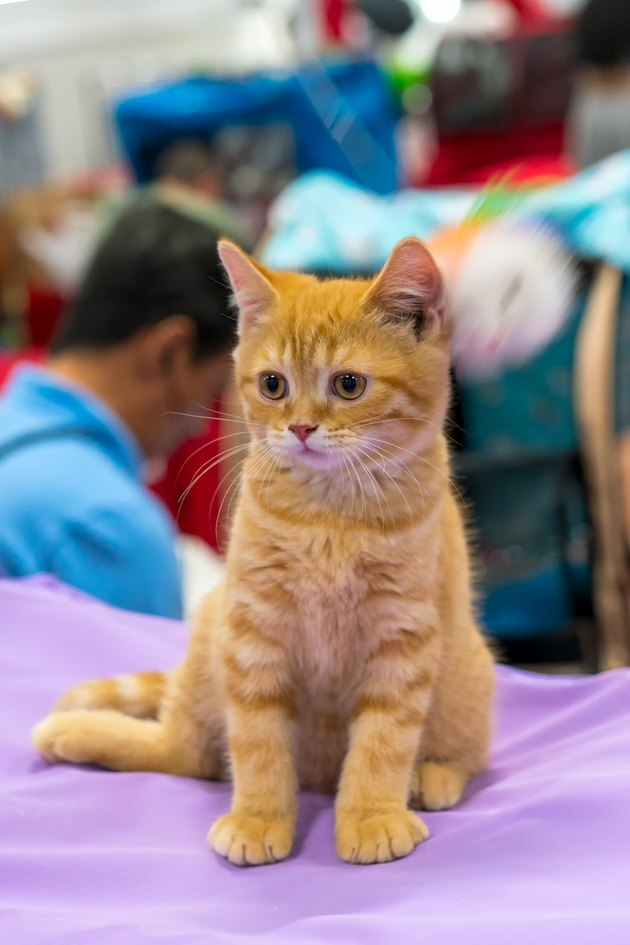 redhead young kitten at the exhibition