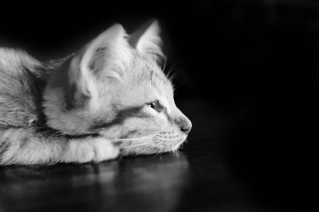 Orange kitten cat lie on wood ground