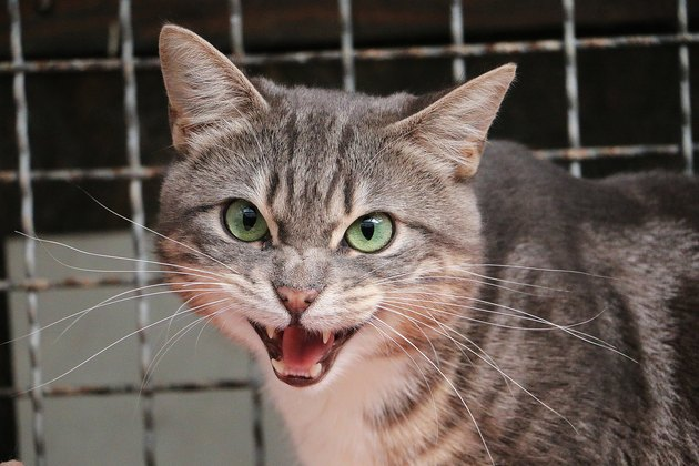 angry hissing gray cat