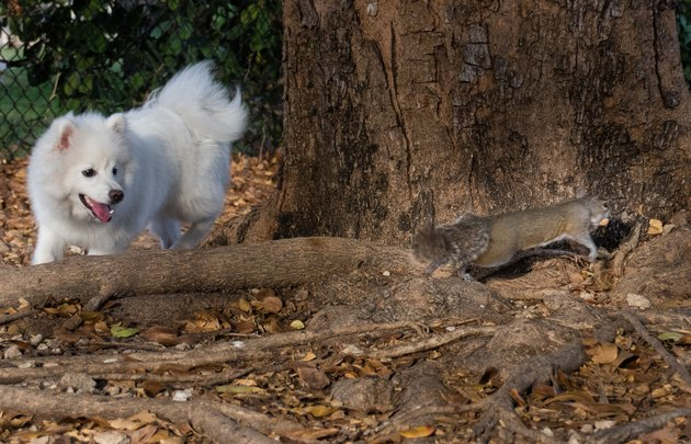 Dog chasing a squirrel