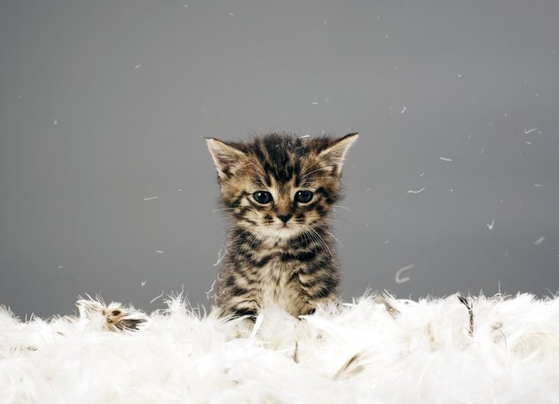 Kitten surrounded by feathers