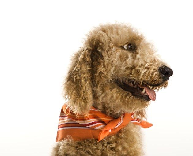 Goldendoodle dog wearing bandana.
