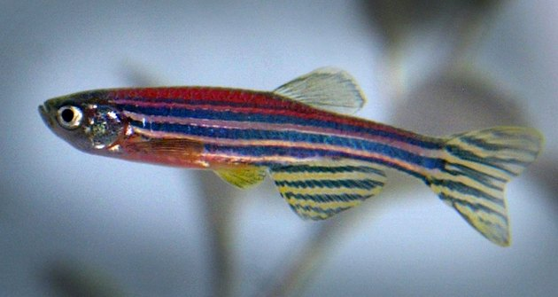 Genetically Modified Fish Raise Questions About Ethics And Safety