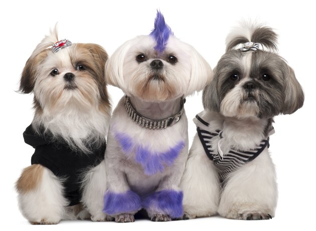 Three Shih Tzus dressed up