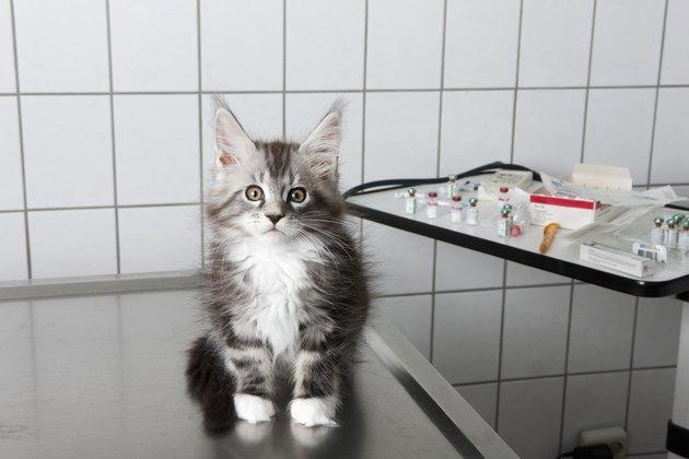 Portrait of kitten sitting on table at vet clinic