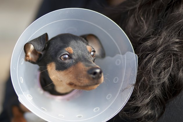 Miniature Pinscher with Cone