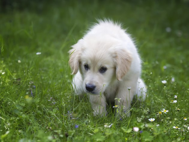 Potty training for golden retriever  puppy