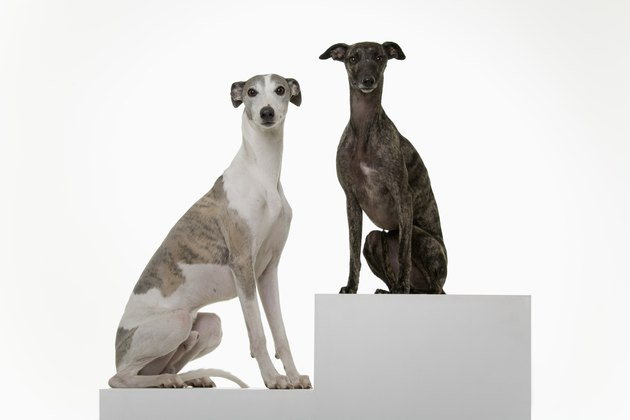 two Whippets on a Podium