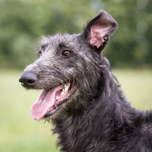 Scottish Deerhound Playing in Grass