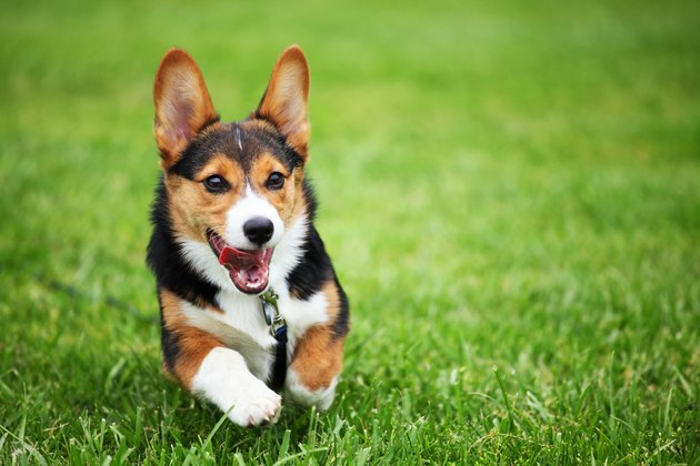 Happy Corgi Puppy Running through Grass