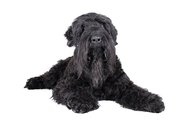 black terrier on a white background