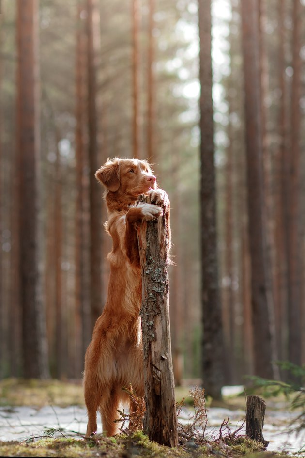 Nova Scotia Duck Tolling Retriever Dog in a sunny forest