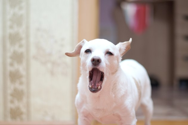 White toy terrier  barking