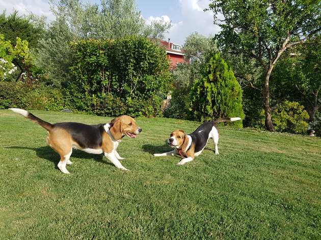 TWO BEAGLES PLAY IN THE HOME GARDEN
