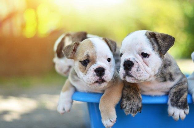 Bulldog puppies in a bucket.