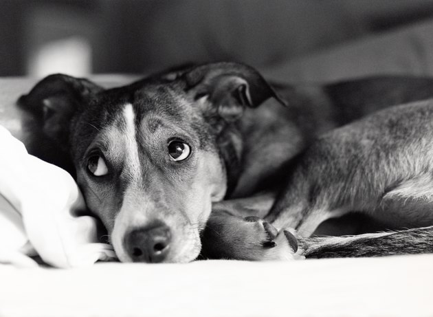 Close-up of dog with embarrassed expression in grayscale