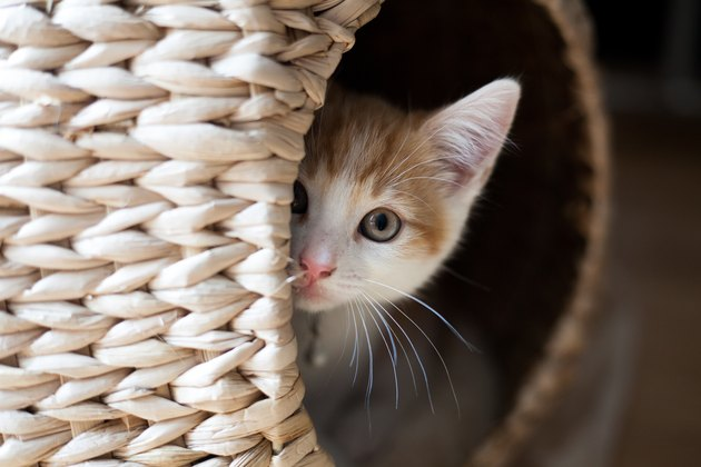 cat in a wicker pod looking out at camera