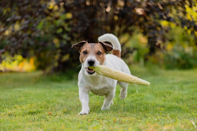 Farm dog carries cob of fresh sweet corn at sunny summer day