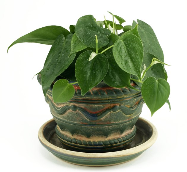 Philodendron Houseplant on White Background