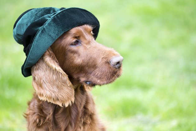Funny dog wearing a green hat