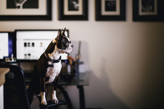 Dog standing on chair in home office