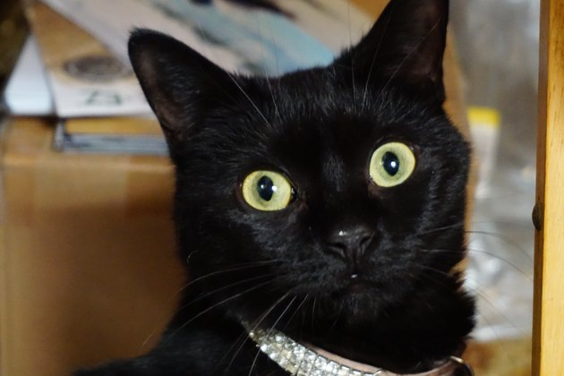 Black Wide Eyed Cat