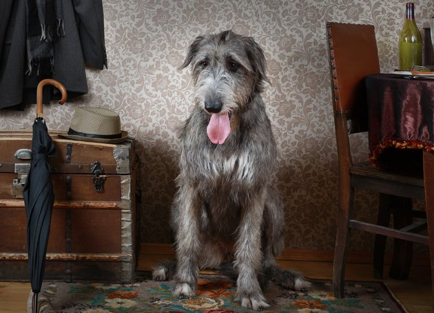 Irish wolfhound dog indoors